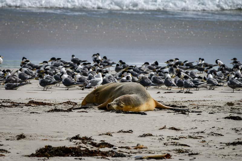 Australian sea lion sleeping at Seal Bay Kangaroo Island