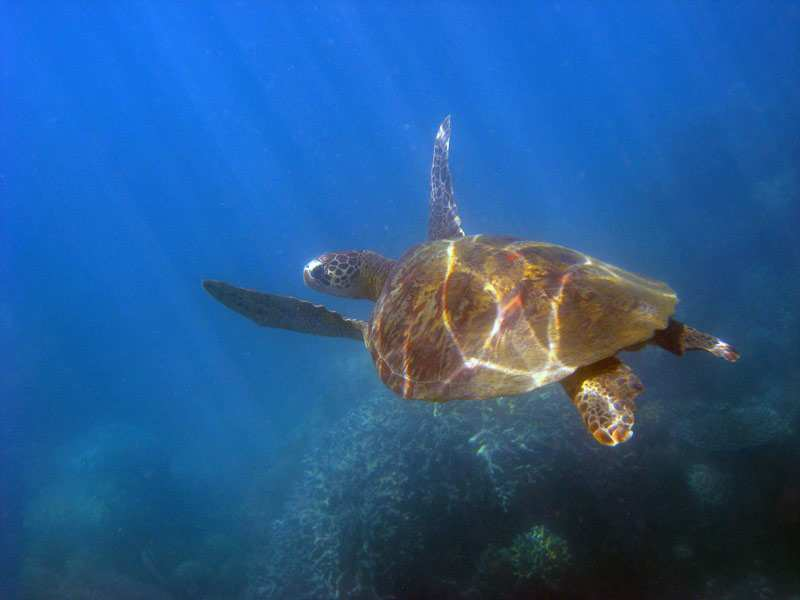 swimming with turtles in the Low Isles